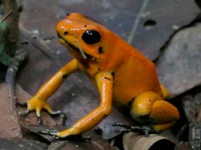 golden-poison-frog-proaves-colombia-choco-rainforest-bethan-john-11
